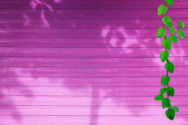 Green leaves of coatbuttons nature border and shadow plant tree on pink wood
