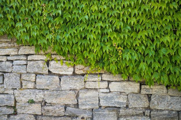 Foglie verdi che ricoprono diagonalmente metà di un muro di pietra