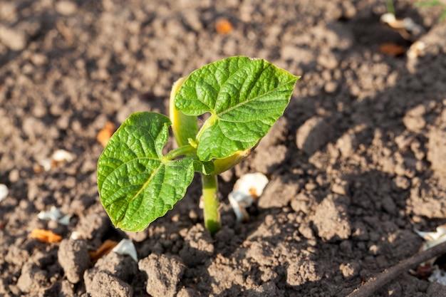 緑の葉きゅうりは農地で育ちます。