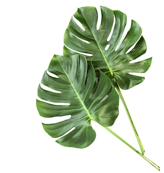 Green leaves exotic plant monstera