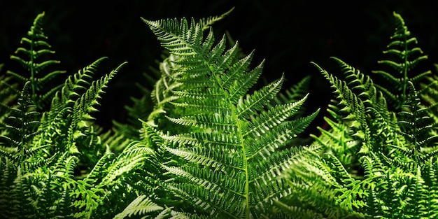 Green leaves fern close up on dark background. banner for web.