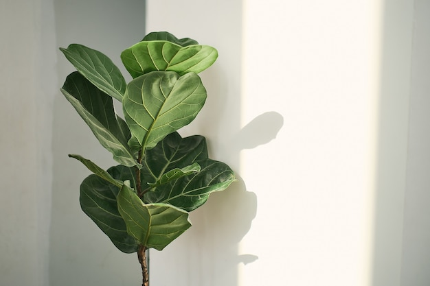 Green leaves of fiddle fig or ficus lyrata. fiddle-leaf fig tree the popular ornamental tropical houseplant on white wall background