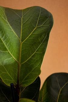 Green leaves of fiddle fig or ficus lyrata fiddleleaf fig tree the popular ornamental tropical house...