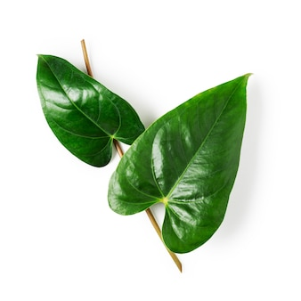 Green leaves of flamingo flower, anthurium tropical plant isolated on white background clipping path included. design element