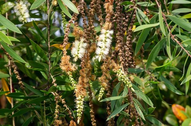 일반적으로 cajuput으로 알려진 melaleuca cajuputi 식물의 녹색 잎, 꽃 및 씨앗