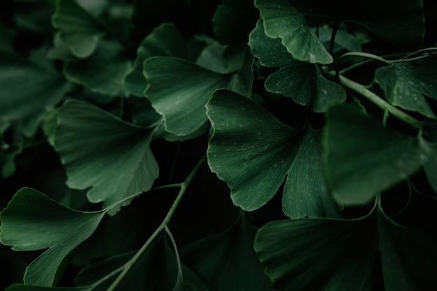 Green leaves of ginkgo biloba tree