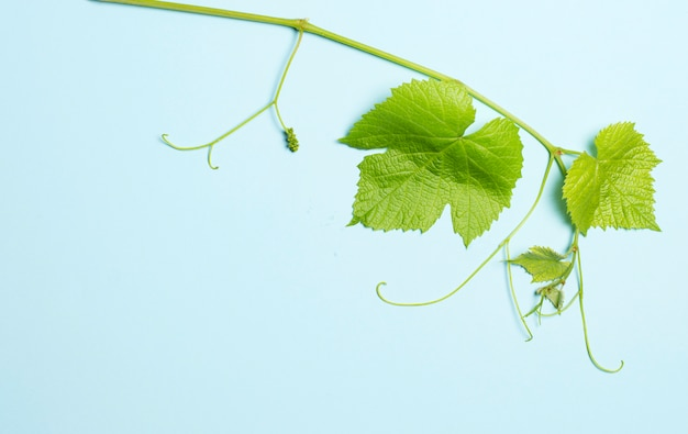 Green leaves of grapes on blue