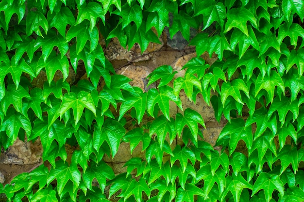 Green leaves.green leaves wall texture. summer background.