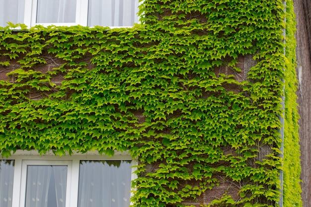 Зеленые листья. зеленые листья стены текстуры. летний фон.