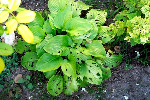 민달팽이가 먹는 정원의 녹색 잎.