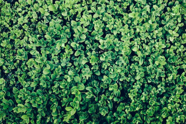 Green leaves of an ivy in a close-up.