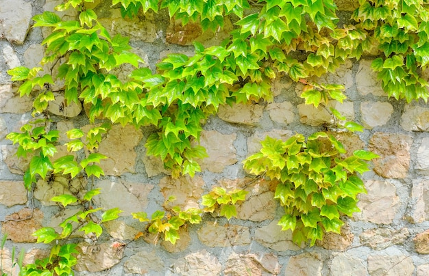 Green leaves of the maiden grape creeper on the stone wall background