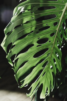 Green leaves of monstera