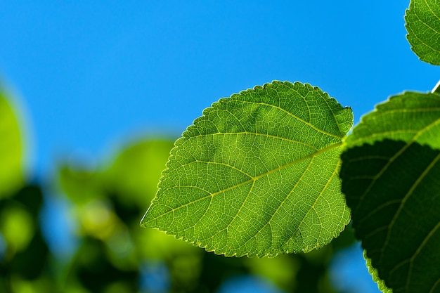 Green leaves of mulberry on the background of the sky on a clear day
