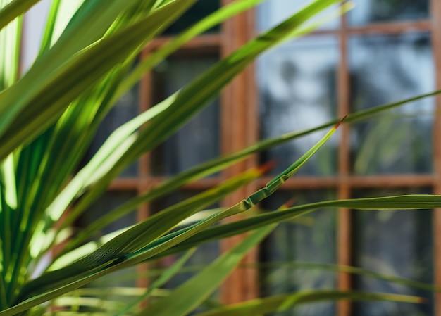 建物の背景にあるヤシの木の緑の葉、クローズアップ、ぼやけた焦点。自然な背景