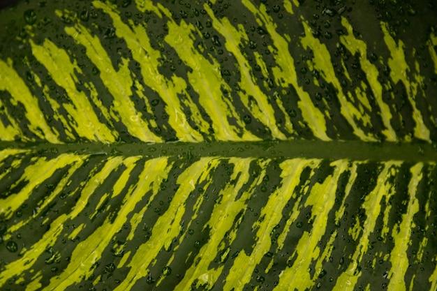 ゴムノキのイチジクの緑の葉。イチジクは弾力性があります。セレクティブフォーカス。