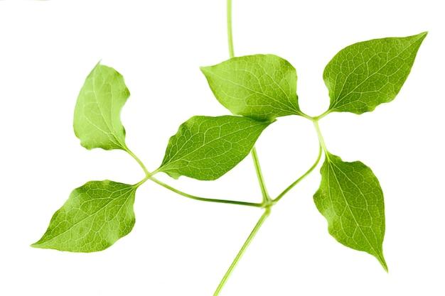 Зеленые листья молодого растения изолированы на белом фоне
