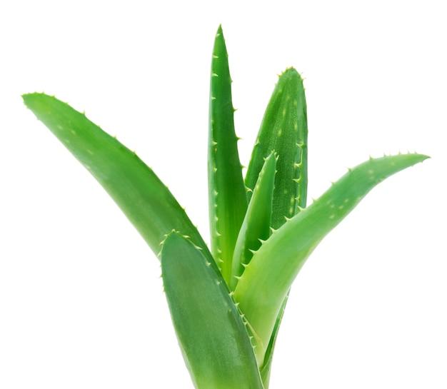 알로에 식물의 녹색 잎을 닫습니다.