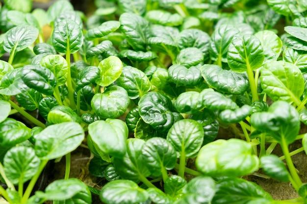 농경법을 사용하여 소 농장에서 자란 에덴 비아 상추의 녹색 잎.
