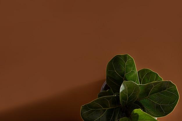 カシワバゴムノキまたはカシワバゴムノキの緑の葉人気の観賞用トロピカルハウス...