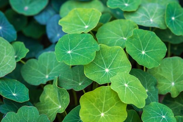 Зеленые листья настурции садовой, выращиваемой как пищевое растение