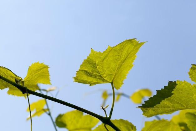 Зеленые листья винограда в весенний сезон