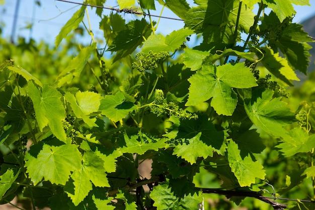 ブドウ園のブドウの緑の葉。セレクティブフォーカス。