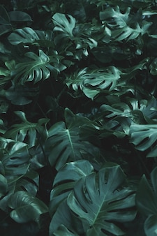 Зеленые листья растения монстера филодендрон