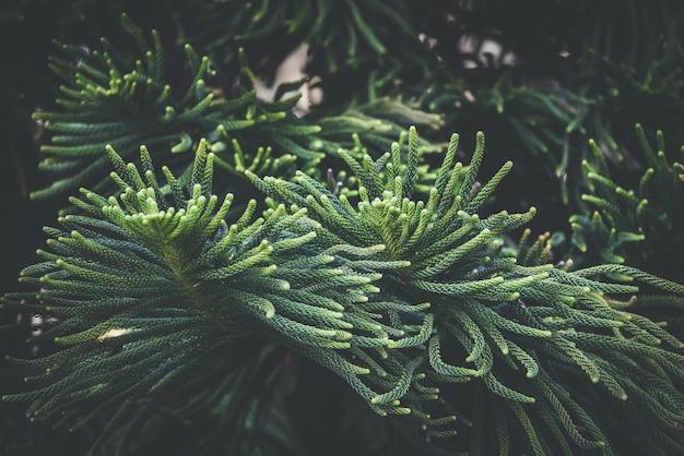 ノーフォーク島の松の木の緑の葉
