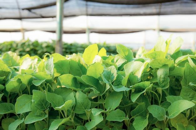 유기농 야채의 녹색 잎.