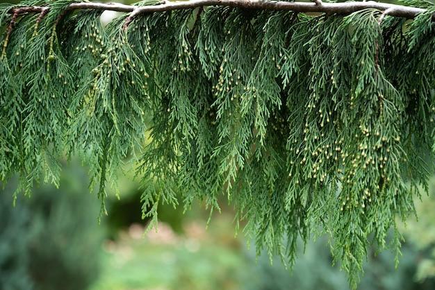 ツジャ枝の緑の葉がクローズアップ