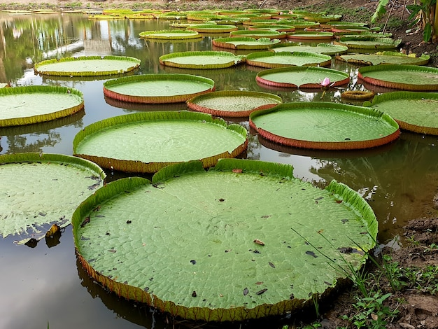 Зеленые листья кувшинки виктория в пруду