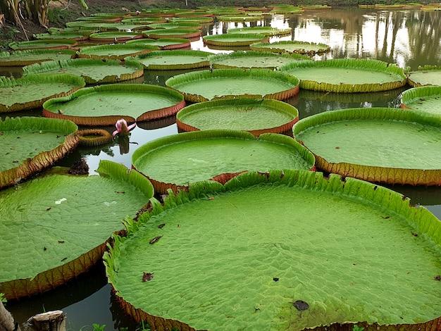 연못에 있는 빅토리아 수련의 녹색 잎