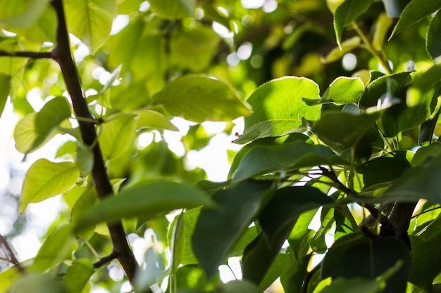 緑の背景に緑の葉。葉と梨の枝
