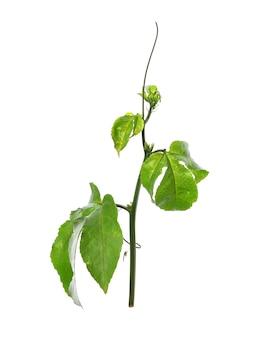 Зеленые листья на белом фоне, крупным планом зеленые листья маракуйи.
