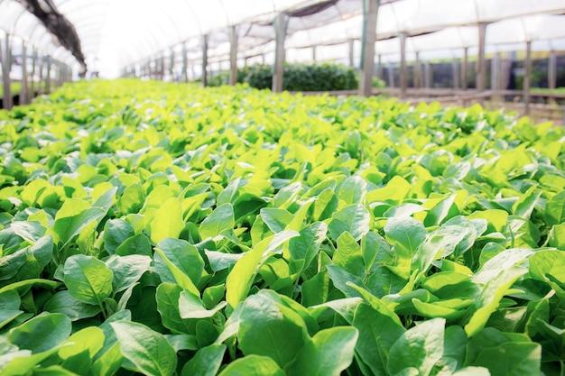 녹색 잎 유기농 채소가 햇빛과 함께 농장에서 자라고 있습니다.