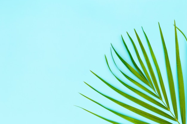 Green leaves of palm tree on blue background