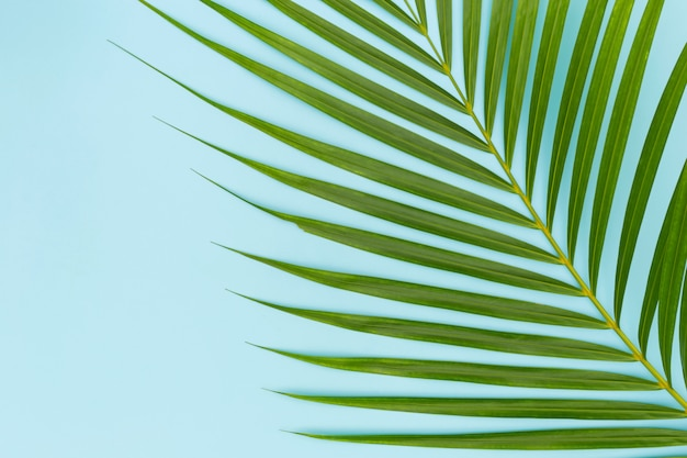 Green leaves of palm tree on blue
