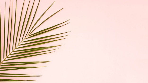 Green leaves of palm tree with pink copy space background