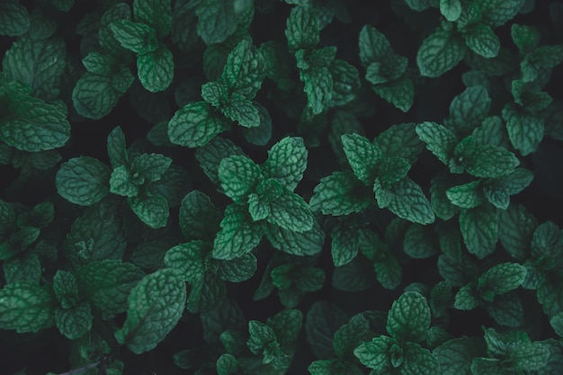 Green leaves pattern background. green peppermint leaves background. flat lay. nature dark green tone background.