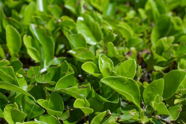 Зеленые листья узор фона, естественный фон и обои.