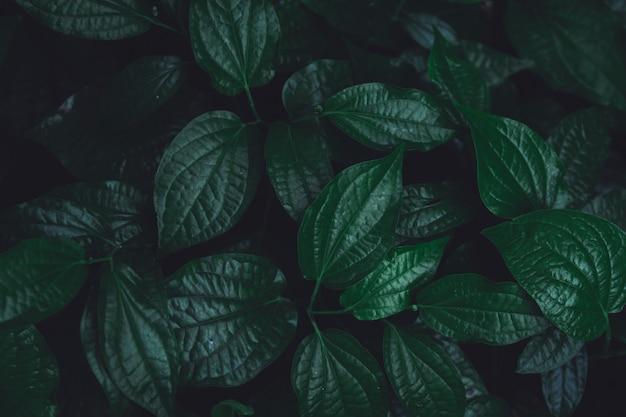 Green leaves pattern background. wild betel leafbush nature dark green tone background.