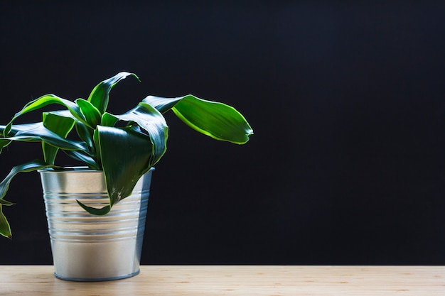 Green leaves plant in silver can on wooden desk against black background