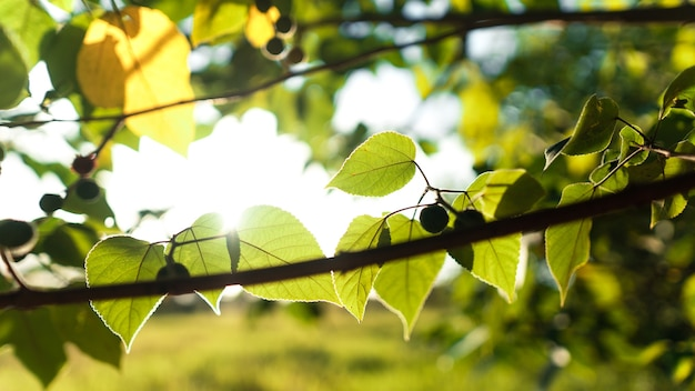 Green leaves in summer evening background