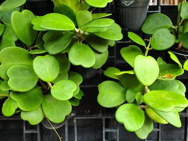 緑の葉の恋人ホヤ植物