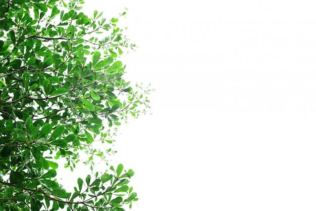 Green leaves of terminalia ivorensis tree on white background.
