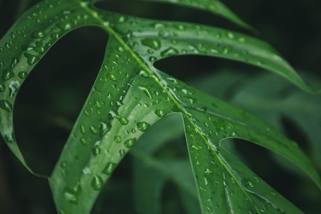 Green leaves texture background with rain water drops