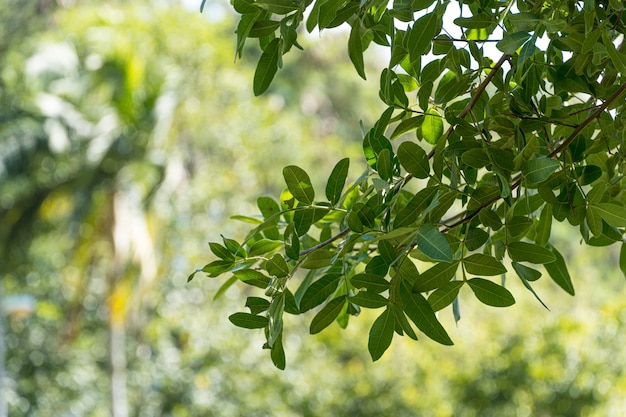Green leaves of trees in brazilian park. sunny day. against light.