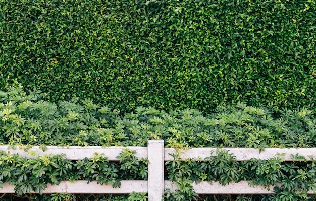 녹색 잎 벽과 흰색 울타리 배경
