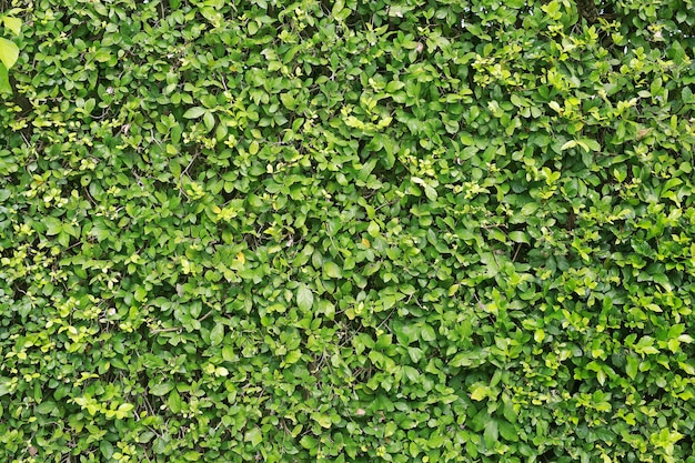 Green leaves wall background. decorative leaf texture.